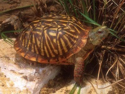 sierdoosschildpad