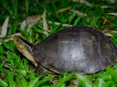 Ambonese doosschildpad