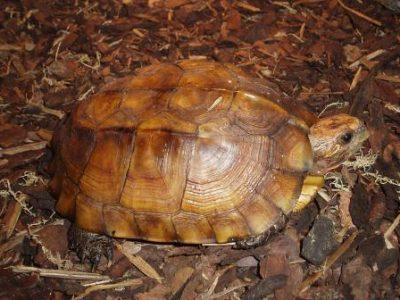 Aziatische doornschildpad