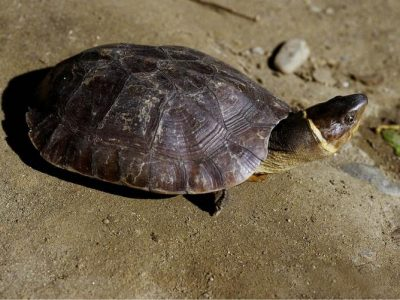 Filipijnse aardschildpad