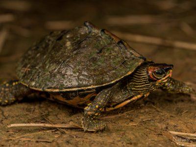 Indische dakschildpad