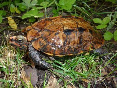 Japanse aardschildpad