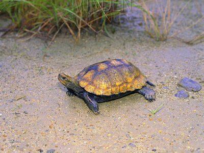 Japanse waterschildpad