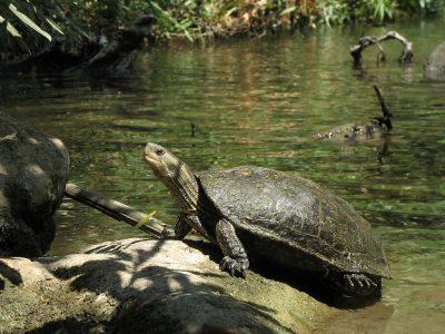 Kaspische beekschildpad