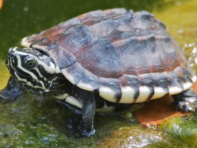 Maleisische moerasschildpad