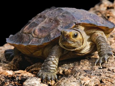 Sulawesi aardschildpad