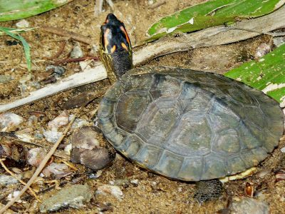 Zuid-Amerikaanse aardschildpad