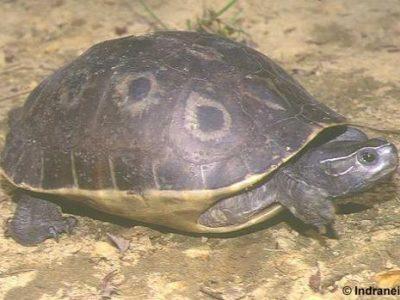achterindische pauwoogmoerasschildpad