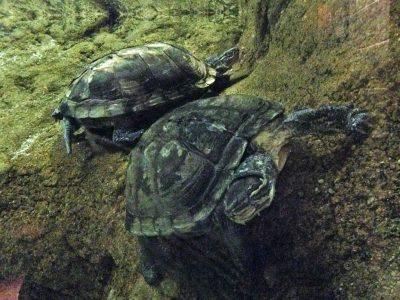 annam-waterschildpad