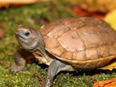 arakan-aardschildpad