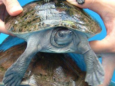 batagurschildpad