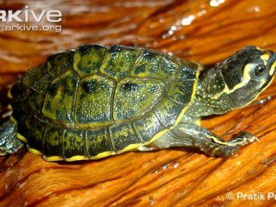 diadeemschildpad