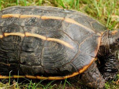 driekielaardschildpad