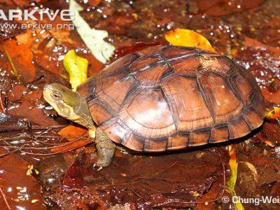 driekielwaterschildpad