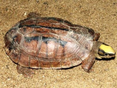 driestreepdoosschildpad
