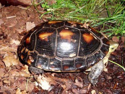 geelranddoosschildpad
