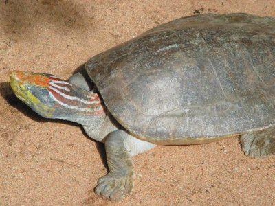 gewone dakschildpad