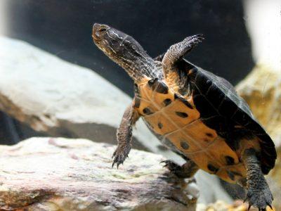 kwantung moerasschildpad