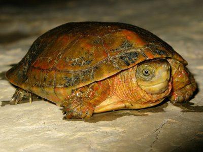 ouede wereldmoerasschildpadden