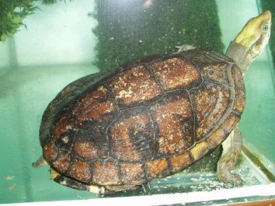 pans doosschildpad