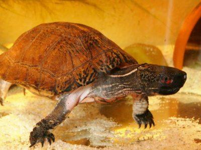 pauwoogwaterschildpad