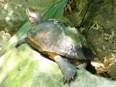 reuzenaardschildpad