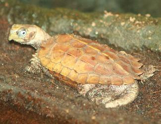 spenglers aardschildpad