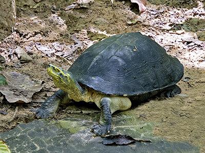 tempelaardschildpad