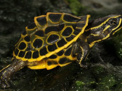 voorindische pauwoogmoerasschildpad