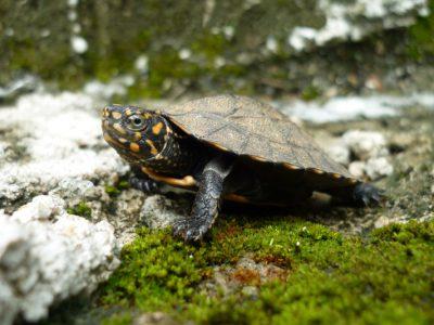 zwartbuikaardschildpad