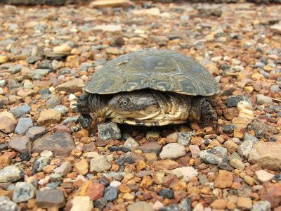 Afrikaanse moerasschildpad