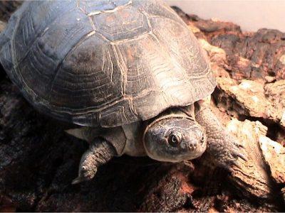 donkere doosschildpad