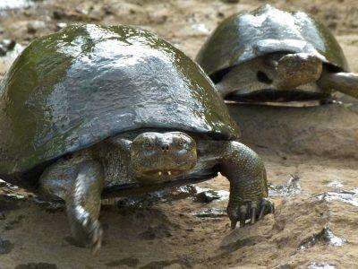 getande doosschildpad