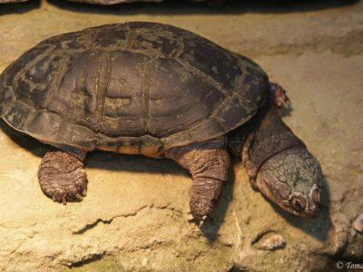 rugstreepdoosschildpad