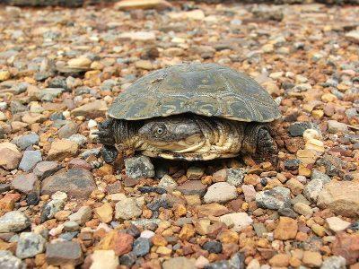 scheenplaatschildpadden-2