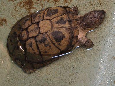zwarte doosschildpad