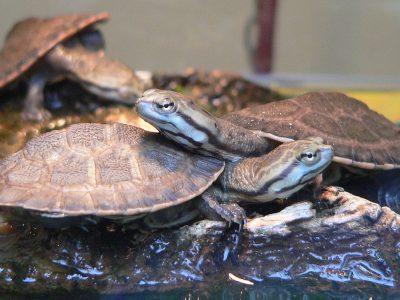 donkere paddenkopschildpad