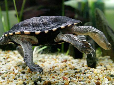 langnekslangenhalsschildpad