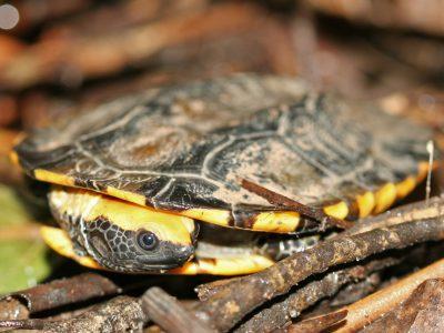 roodkopdeukschildpad