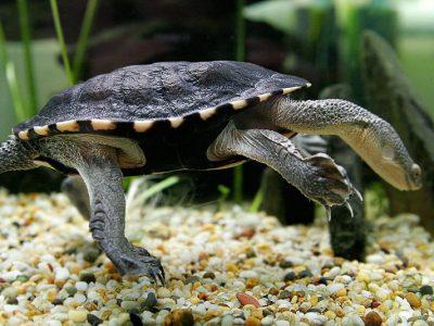slangenhalsschildpadden