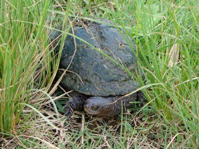 stekelhalsdeukschildpad