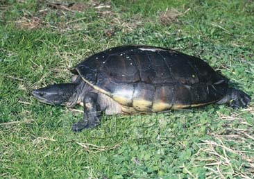 tabascoschildpadden