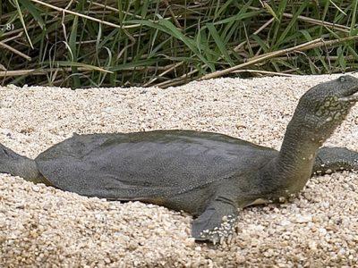 Amoer-weekschildpad