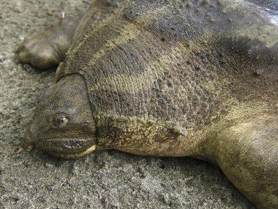 Bibrons reuzenweekschildpad
