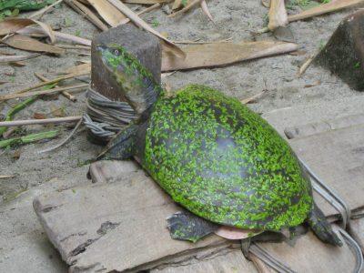 Birmese klepweekschildpad