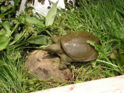Chinese weekschildpad