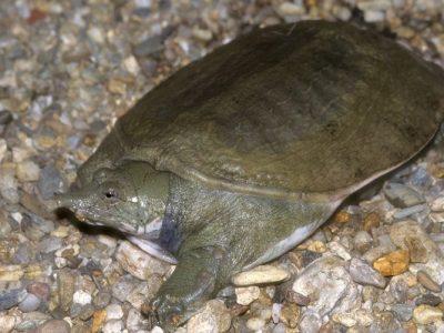 Hunan-weekschildpad