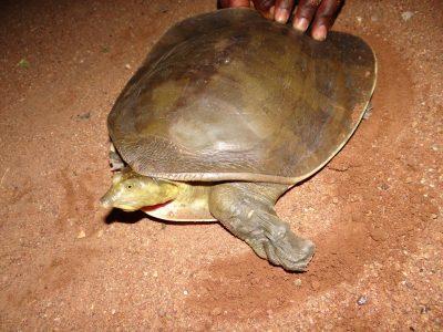 Senegalese weekschildpad