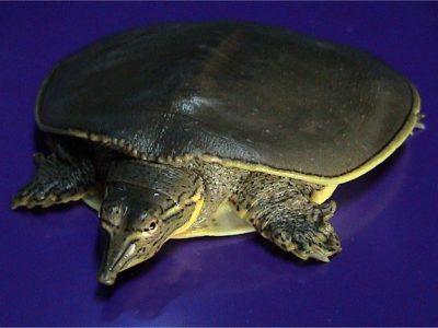 doornrandweekschildpad