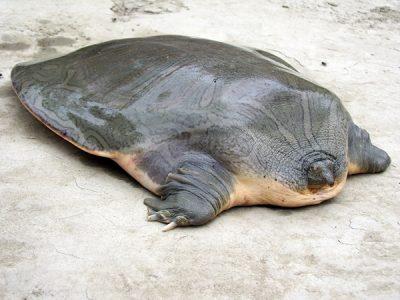 kortkopweekschildpad